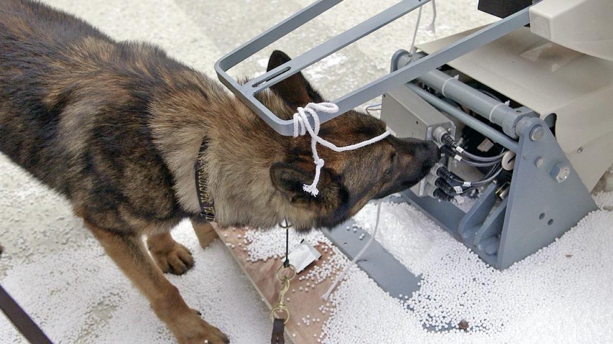 Muitas suns meklē narkotikas zobārsta krēslā.